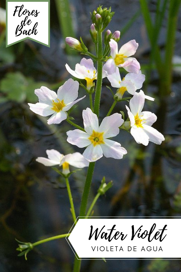 Violeta de agua bach