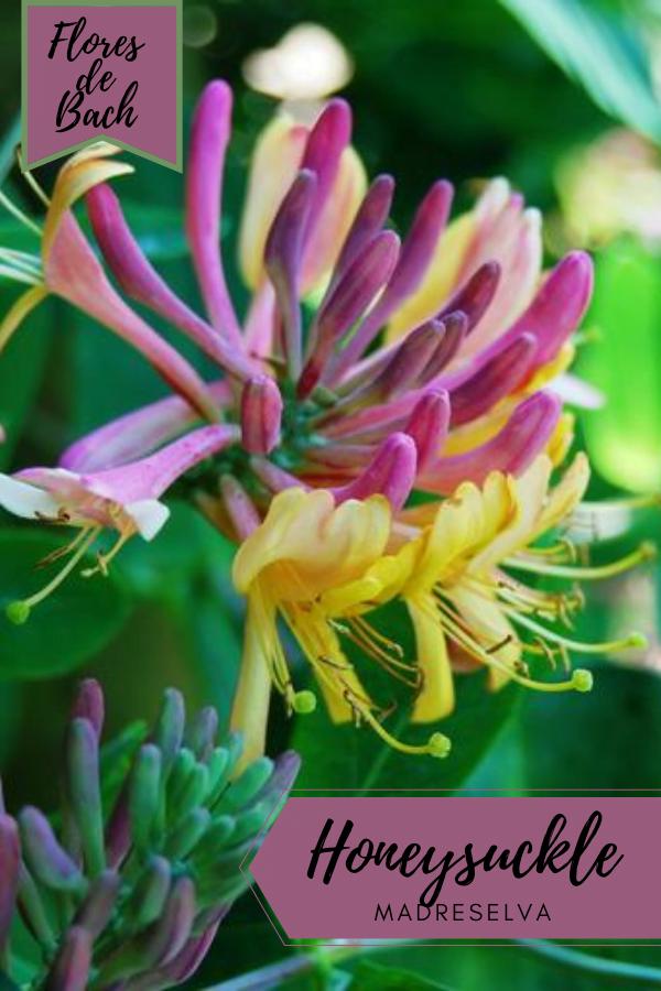 Flores de Bach Madreselva