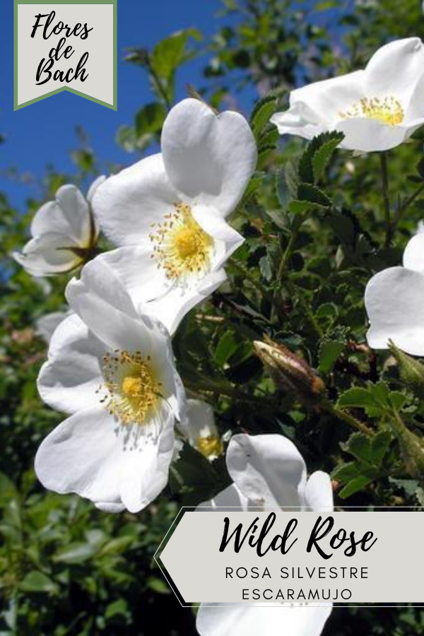Flores de Bach Rosa Silvestre o Escaramujo