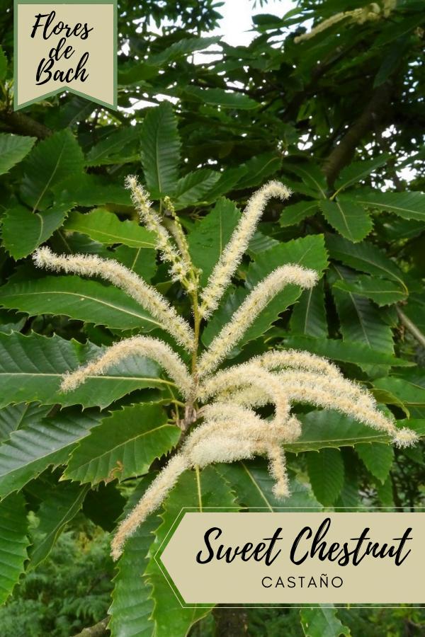 Flores de Bach Castaño 19 remedios