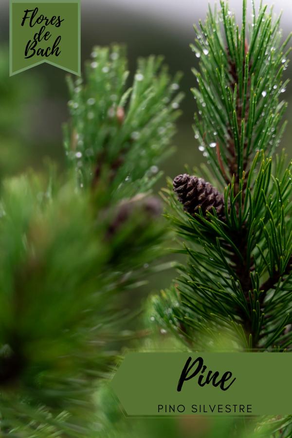 flores de bach pino silvestre