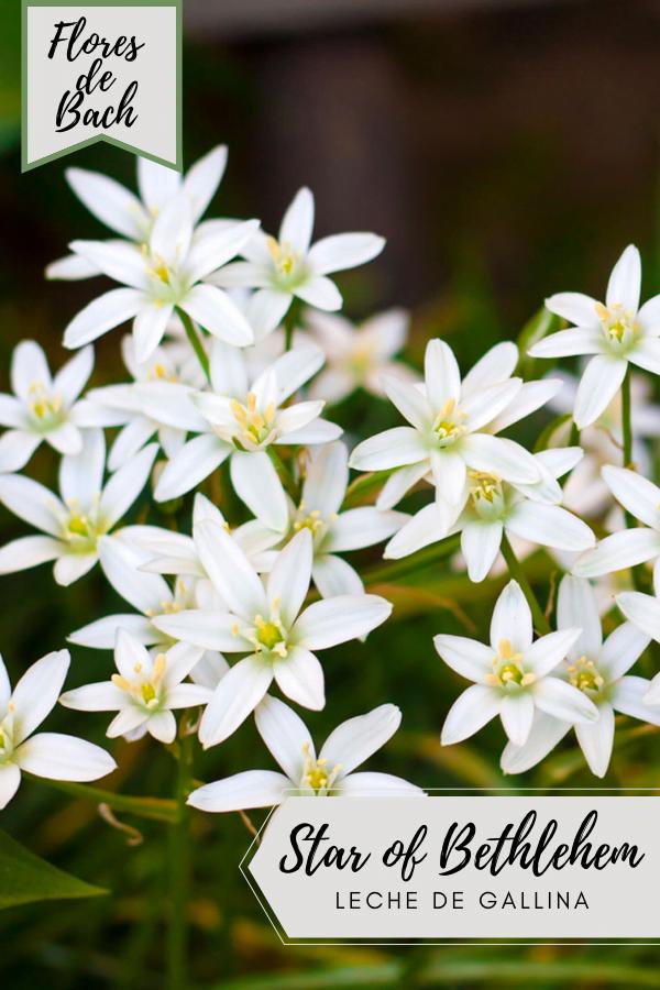 Flores de Bach Leche de Gallina